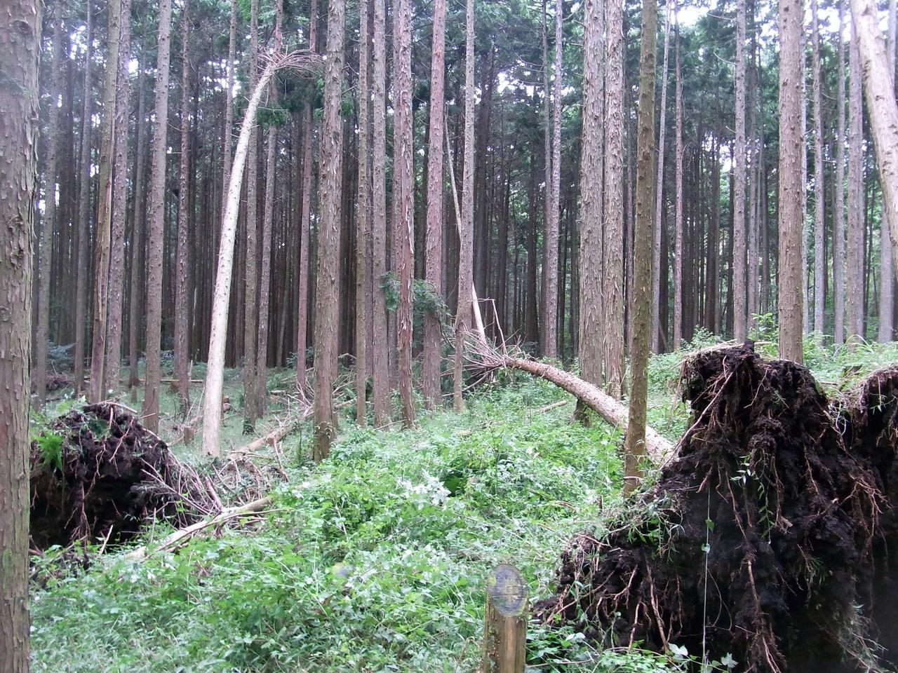 ヒノキの人工林1