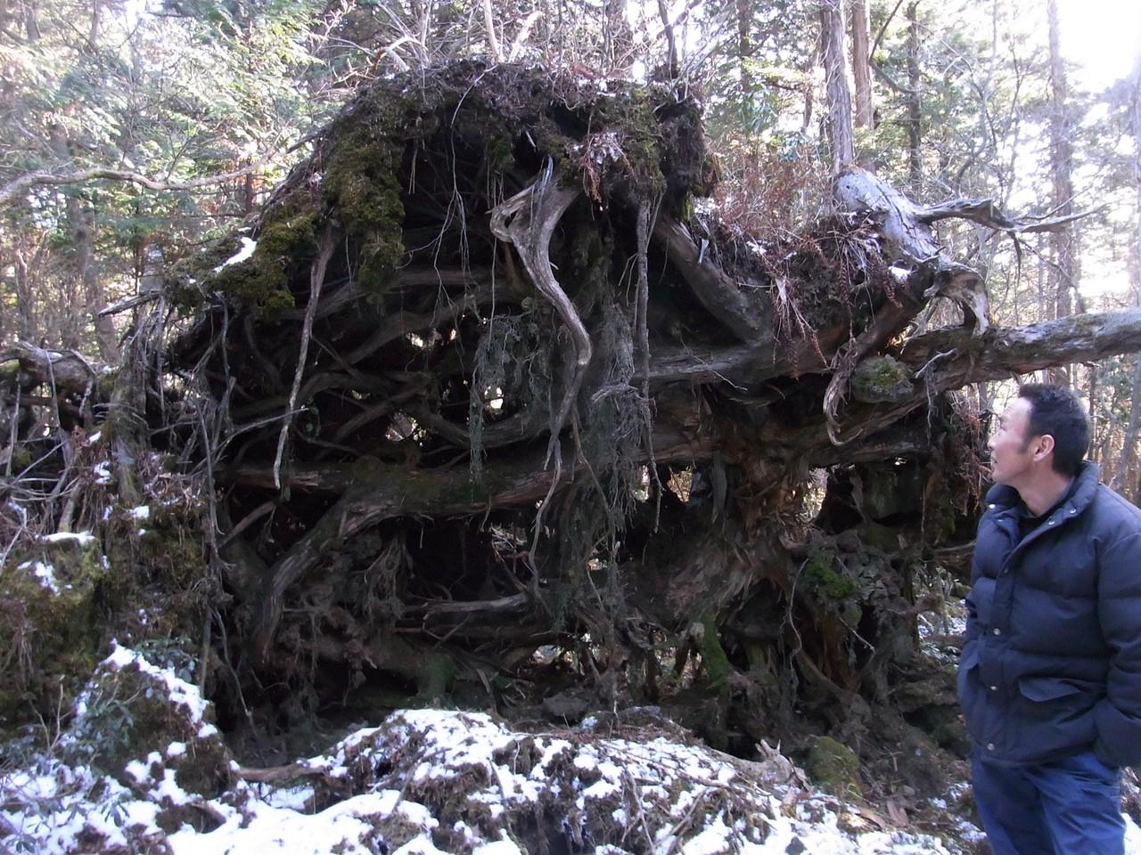 天然ヒノキの森1