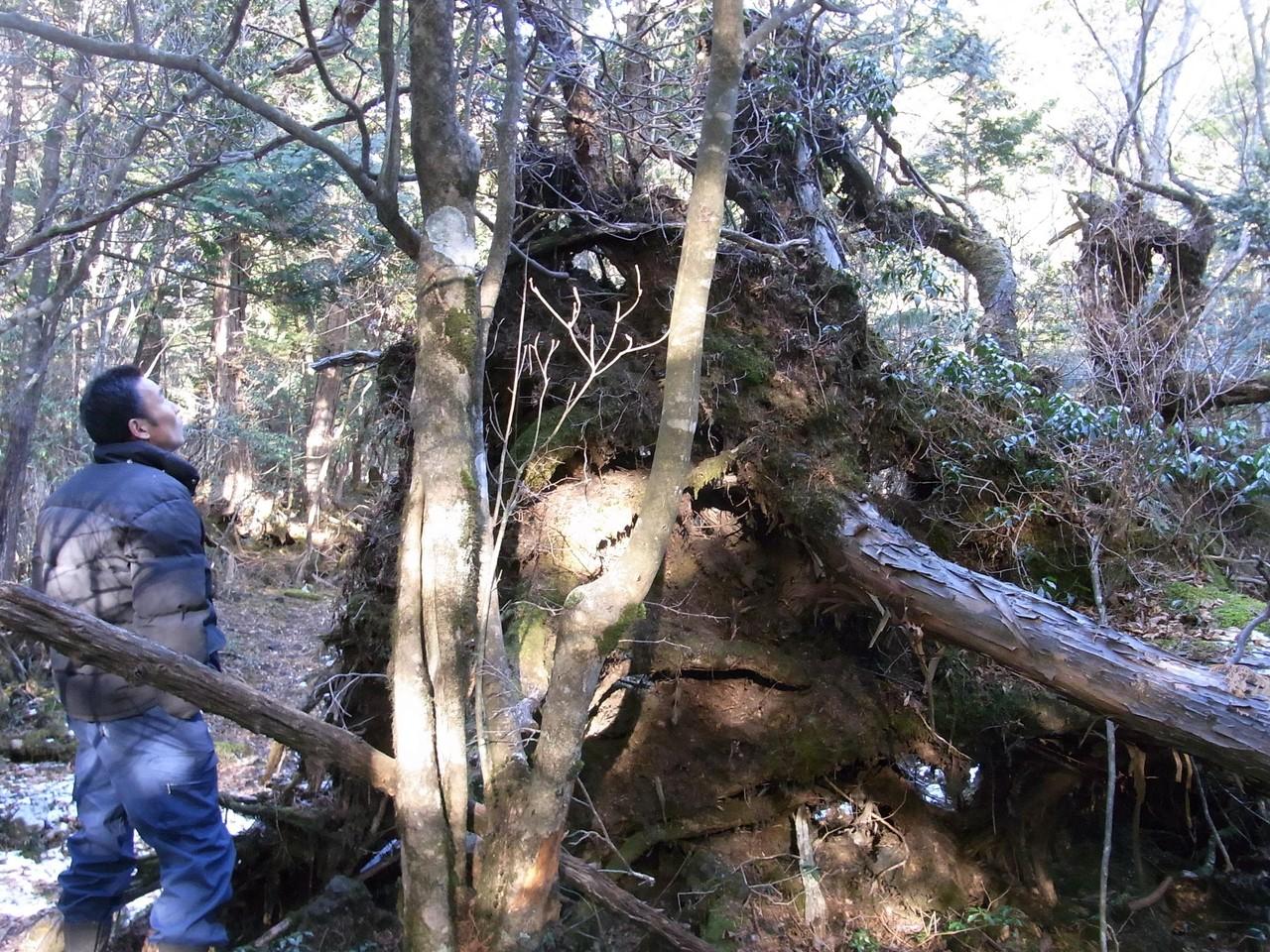 天然ヒノキの森2
