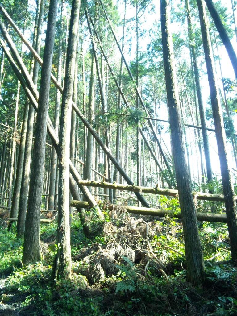 ヒノキの人工林2