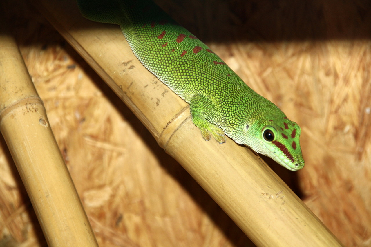 Großer Taggecko