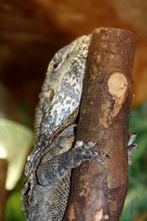 Australische Kragenechse