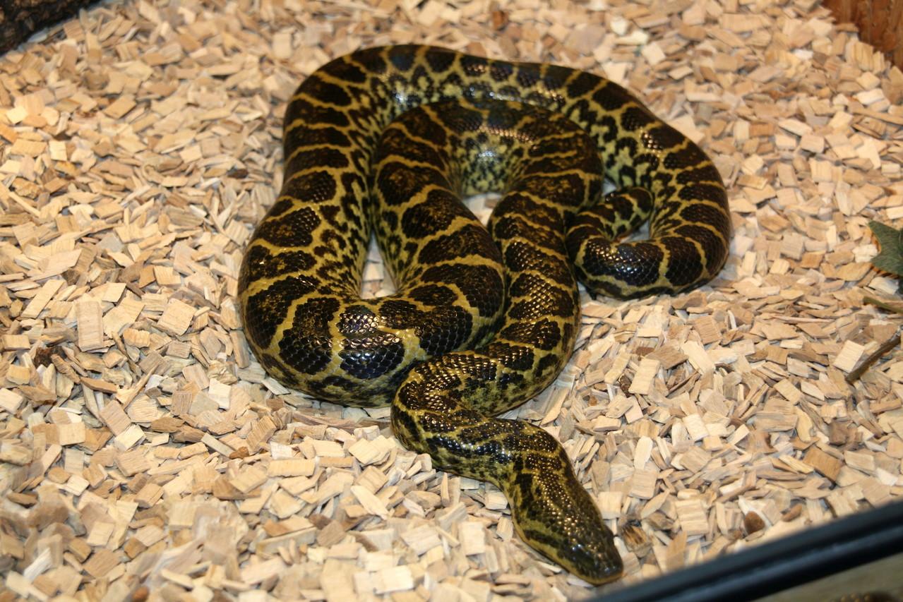 Gelbe Anaconda