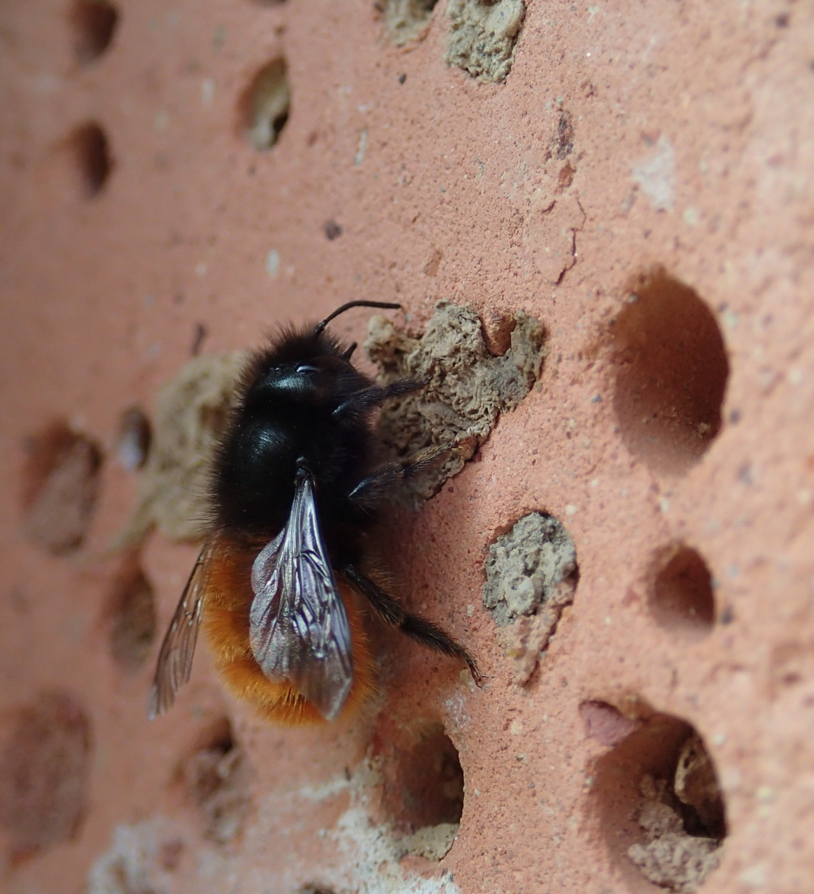 Gehörnte Mauerbiene - Foto: Félix Girault