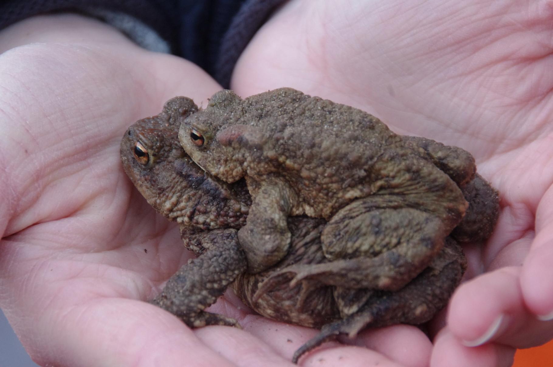 Erdkröten - Foto: Miriam Schaumann
