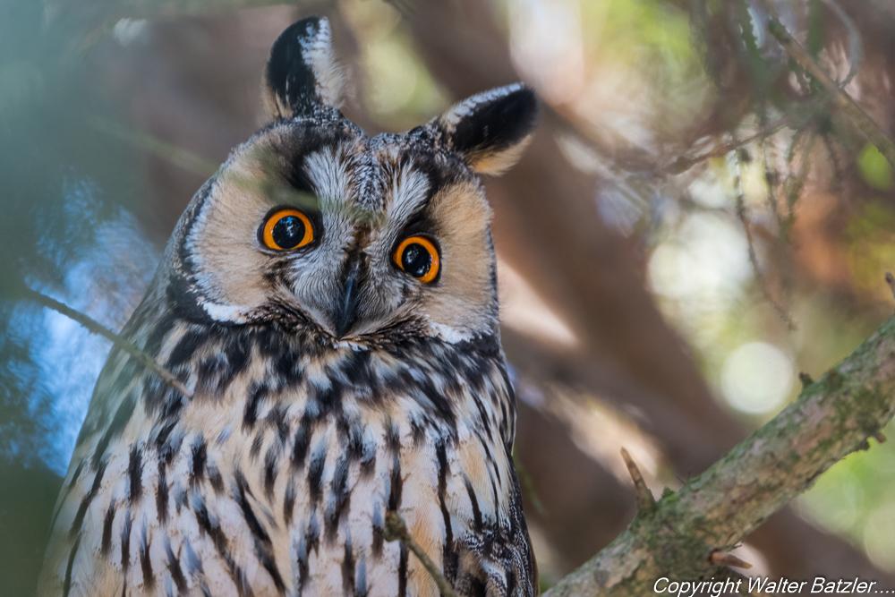Federohren und leuchtende Augen: die Waldohreule