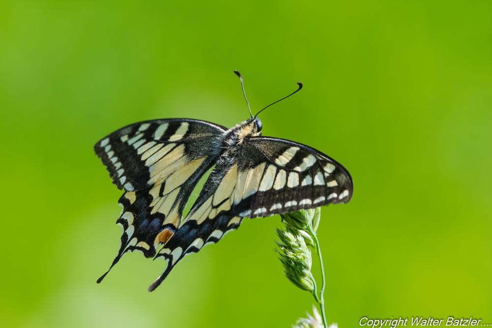Zum Bericht: Schmetterlinge