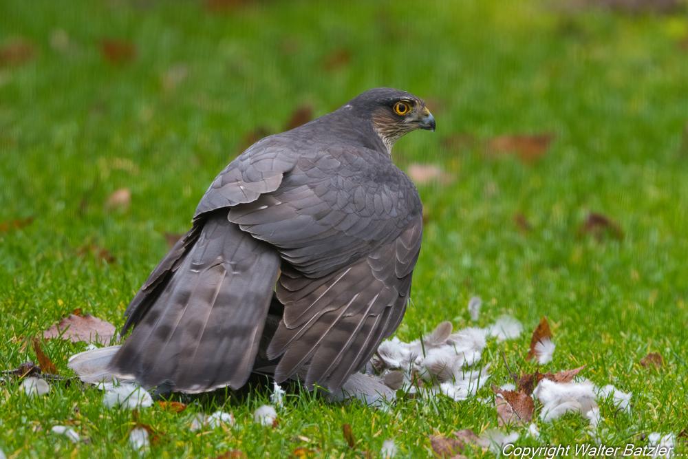 Sperber erbeutet eine Taube