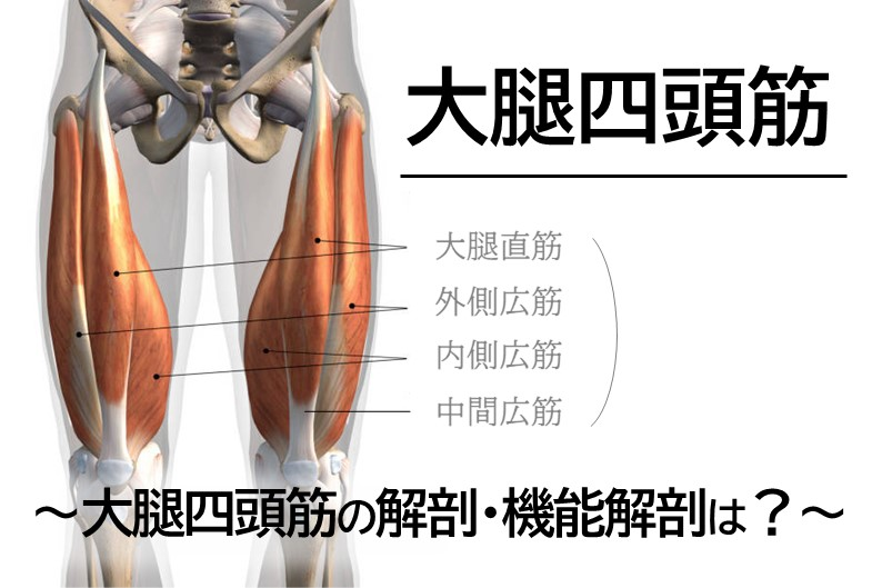 【大腿四頭筋】~大腿四頭筋の解剖・機能解剖は?~