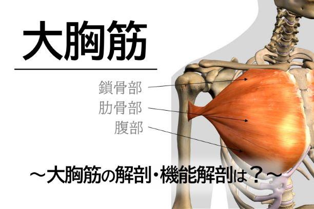 【大胸筋②】大胸筋の解剖・機能解剖は?
