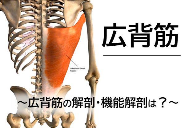 【広背筋】広背筋の解剖・機能解剖は?