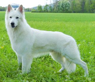 Of White Valley Bvws O Weisse Schweisser Schaferhunde Osterreich