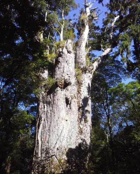 Riesiger Kauri Baum aus Neuseeland, exklusive Massivholztische und Esstische aus alten außergewöhnlichen Hölzern