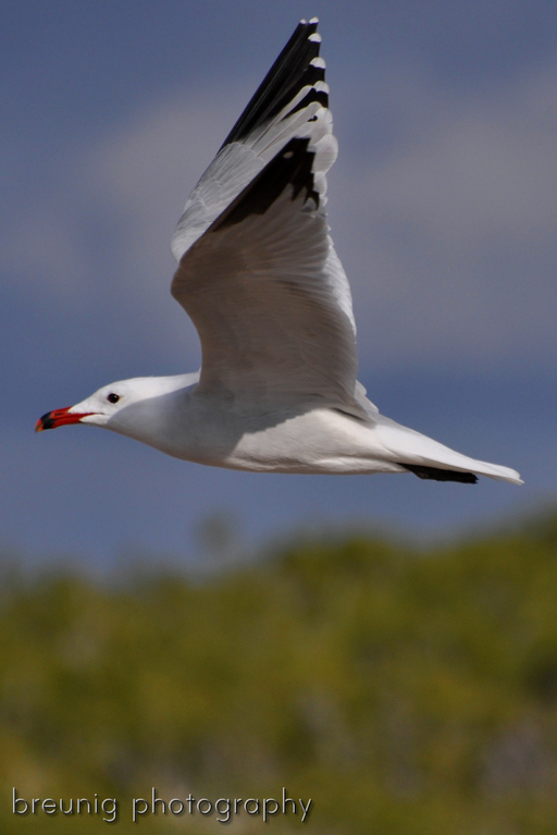 sea gull IV