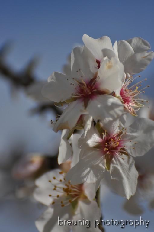 el retiro - almond tree in bloom