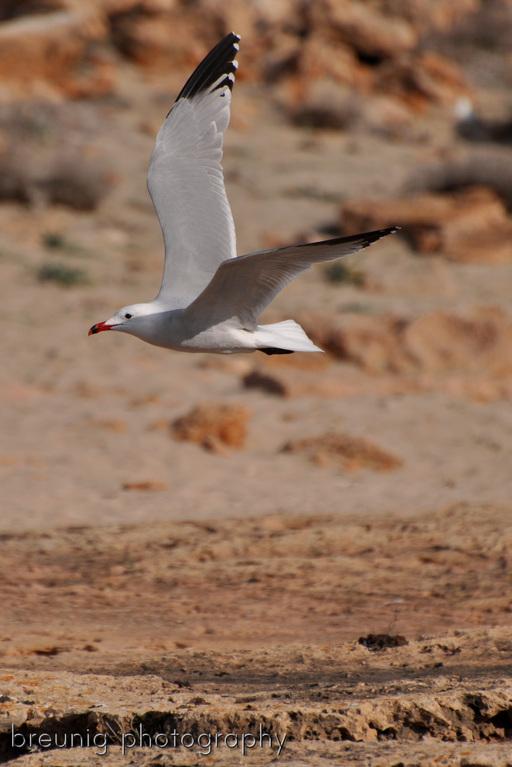 sea gull II