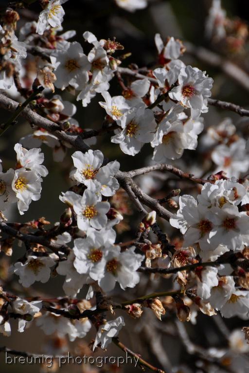almond tree in bloom II
