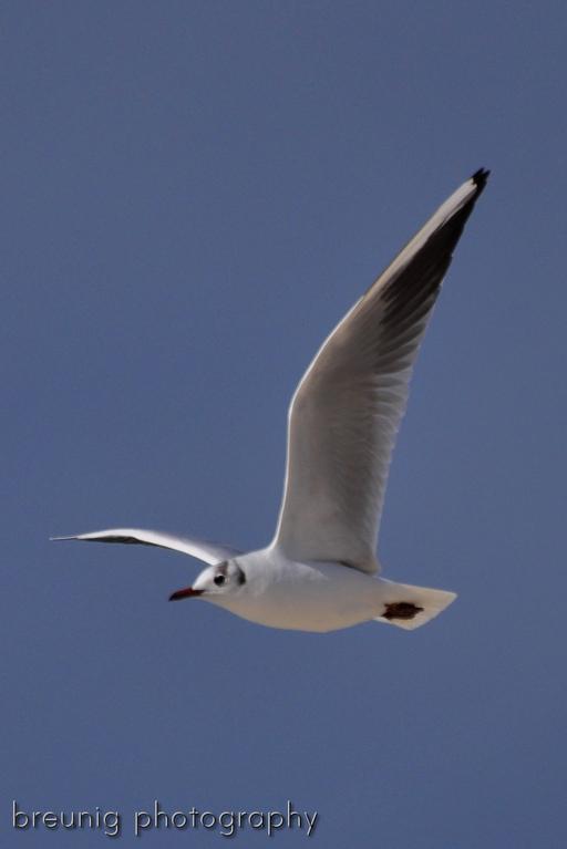 sea gull V
