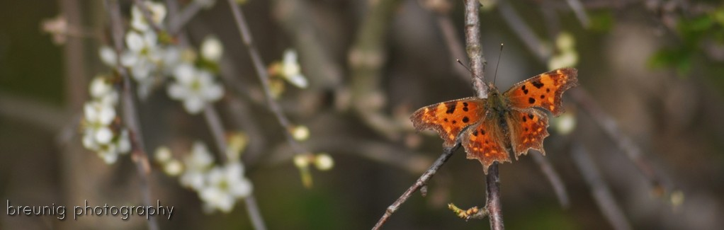 habitat echinger lohe: butterfly