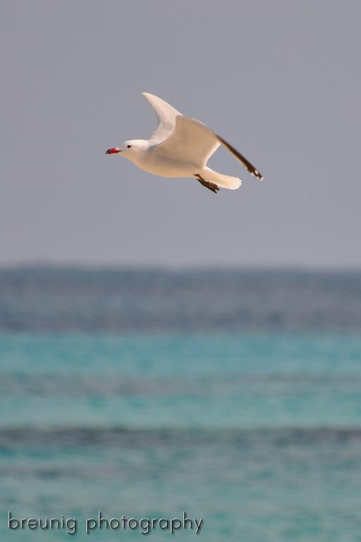 sea gull III