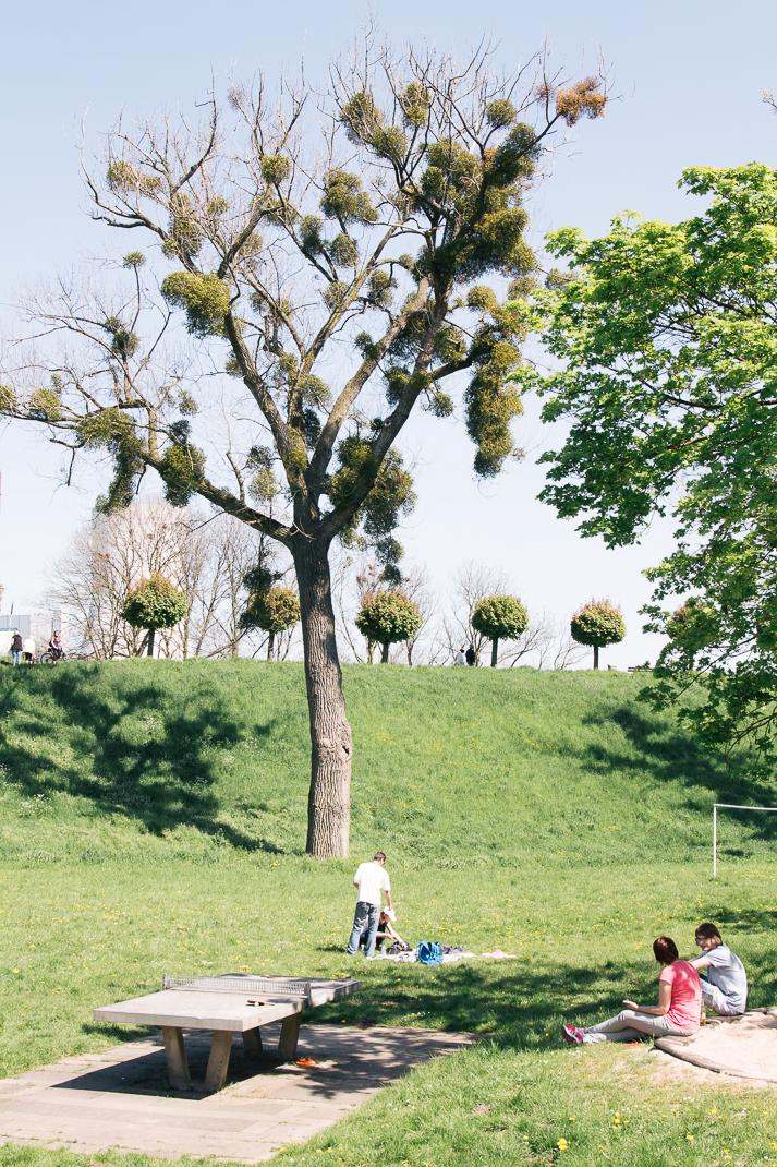 Rheindamm Orsoy. Tischtennisplatte und Baum mit Misteln