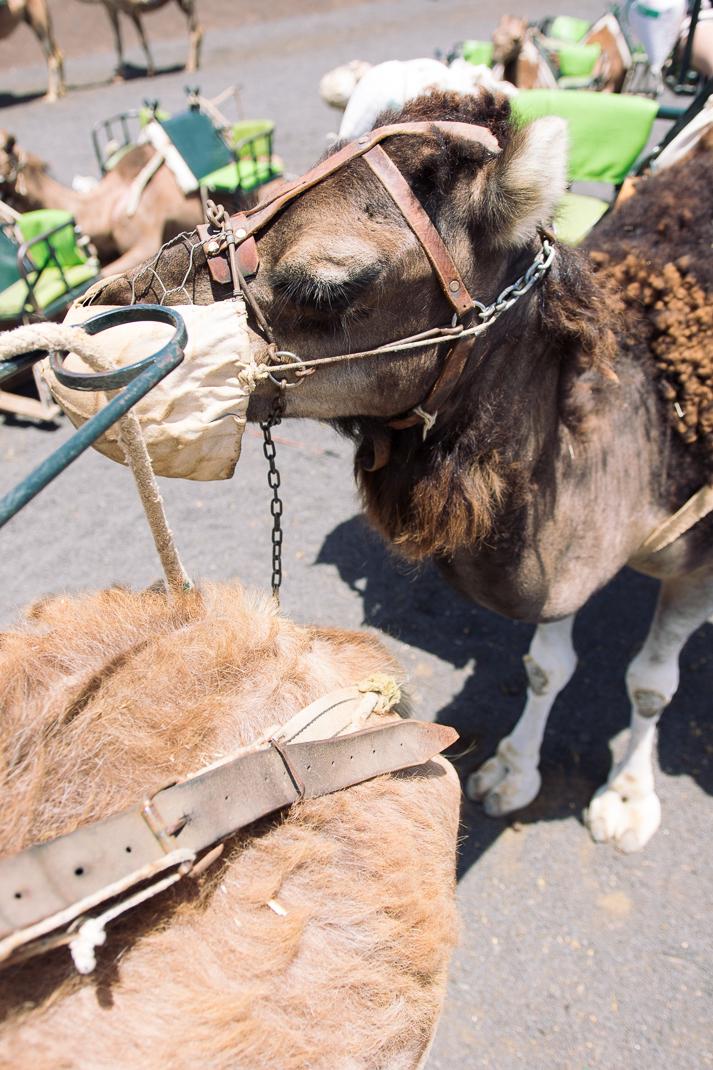 Kamel, Nationalpark Timanfaya