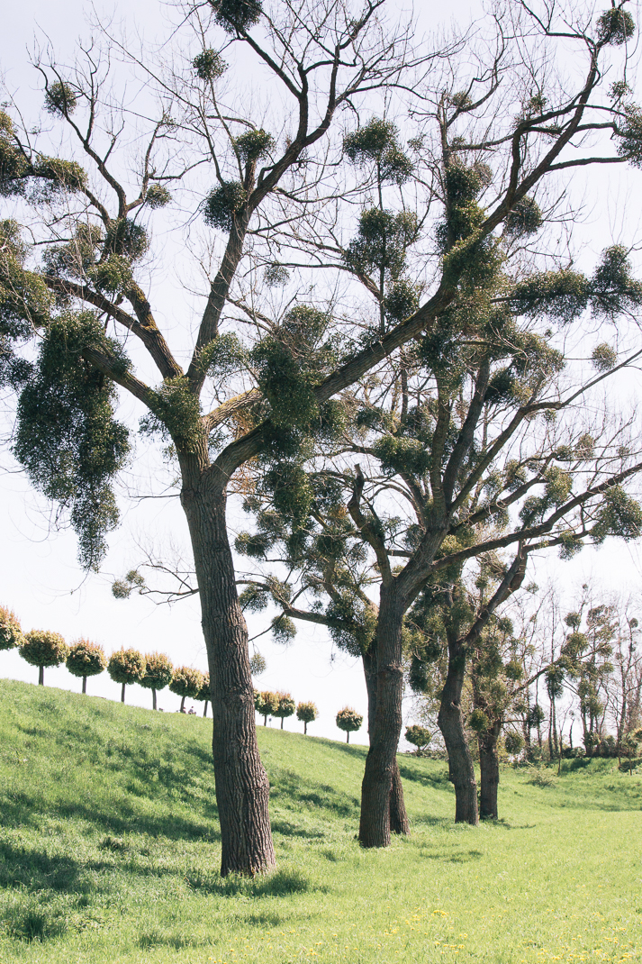 Bäume mit Misteln, Orsoy