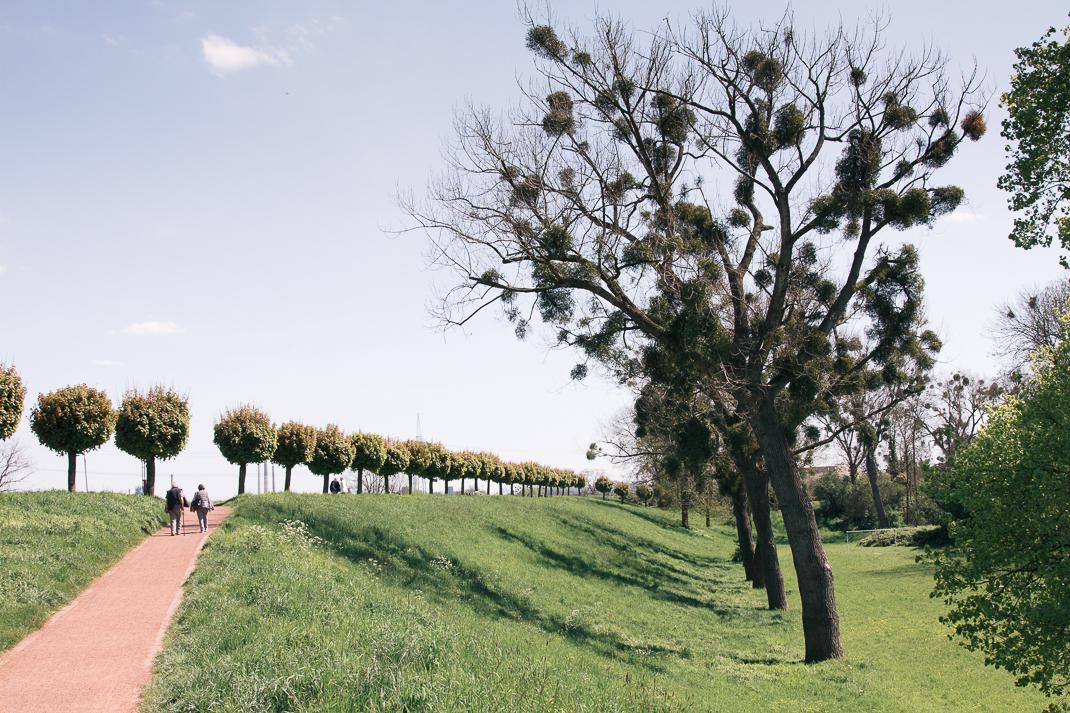Baum mit Misteln, Orsoy. Rheindamm