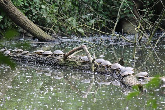 Gelbbauch Schmuckschildkröten im Teich hinter der Ludwig Galerie Schloss Oberhausen