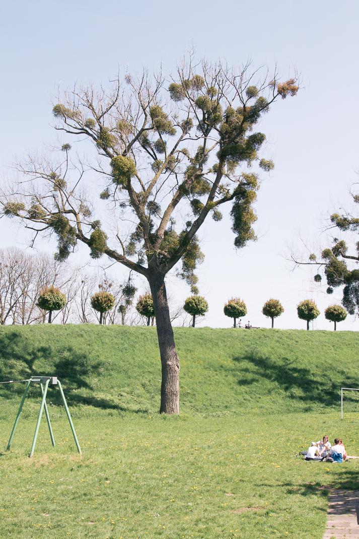 Rheindamm Orsoy. Baum mit Misteln