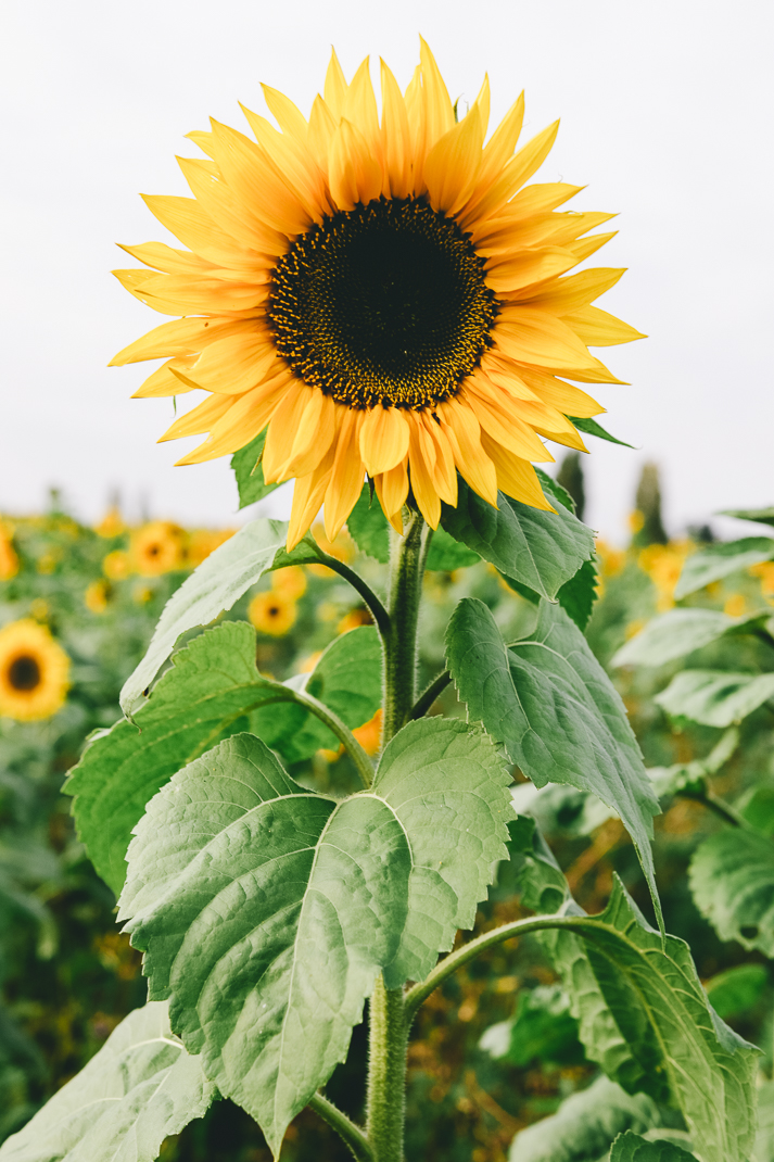 Sonnenblume Oberhausen