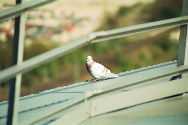 Der Gasometer Oberhausen wird zwanzig Jahre, ein Geburtstagsgruss. Eine Taube.