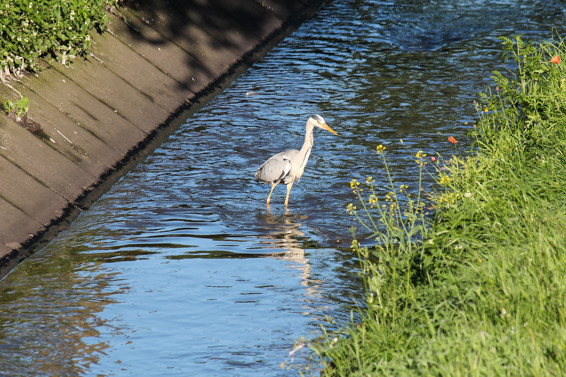 Graureiher im Kanal Oberhausen Sterkrade. Fotografiert am 6.6.2014