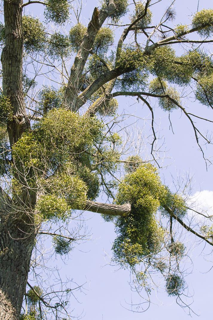 Baum mit Misteln, Orsoy