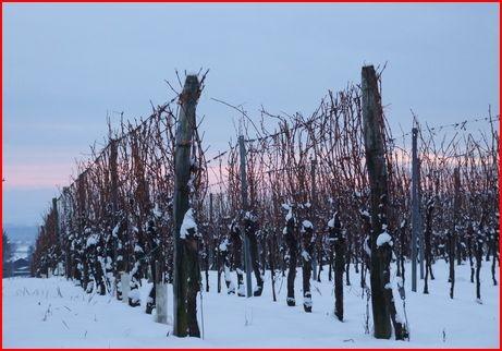 Le vignoble alsacien et ses cépages