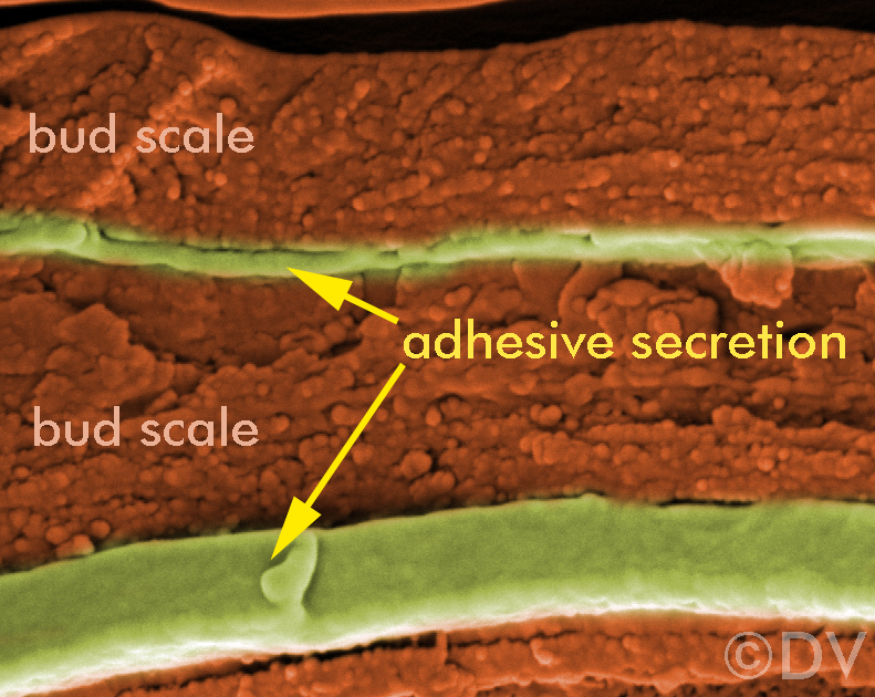 The adhesive secretion embedded in horse-chestnut bud scales. ©DV2020