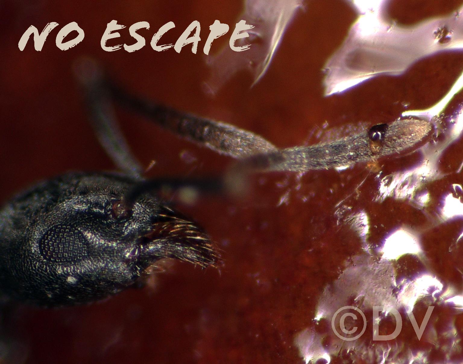 Arthropods stick to the horse-chestnut bud adhesive secretion. ©DV2020