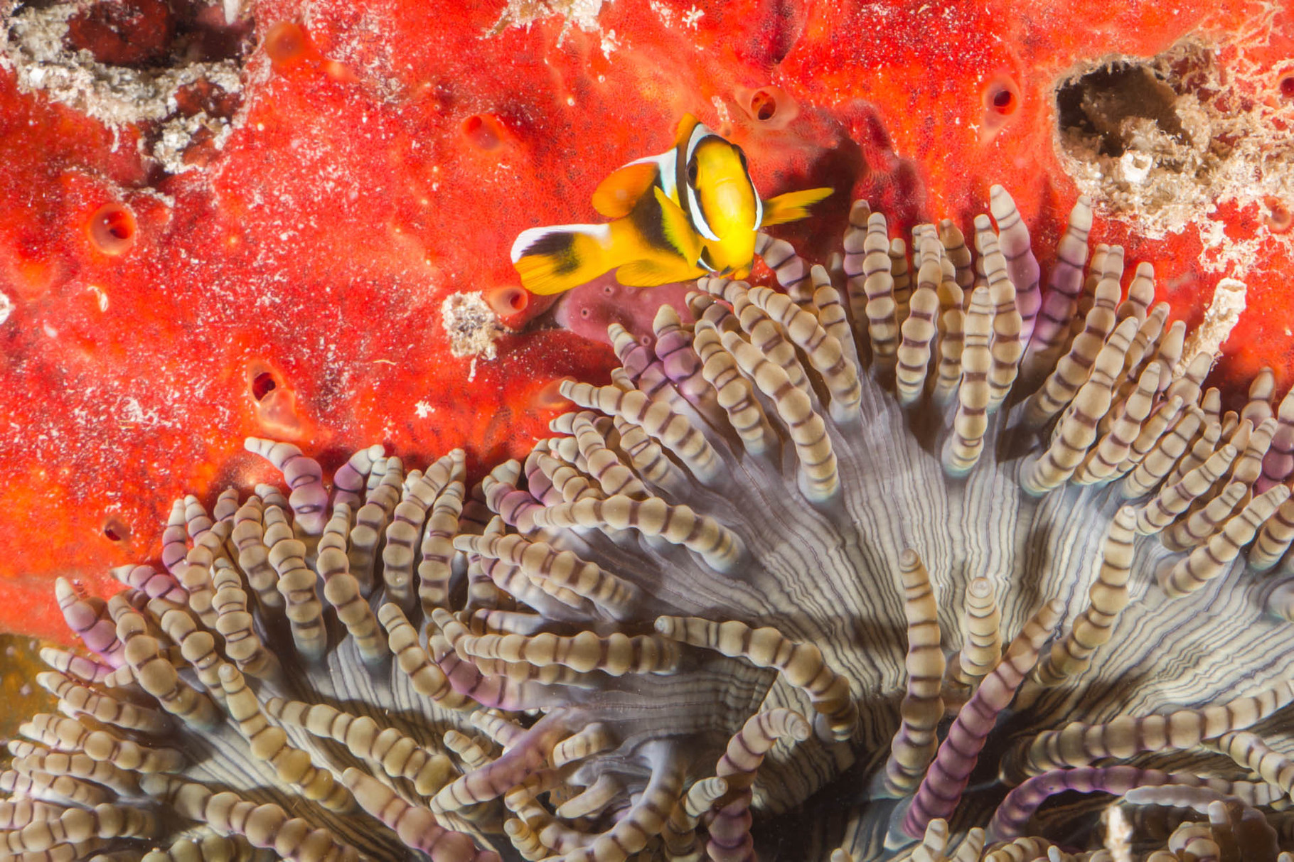 Anemone, sponge and nemo