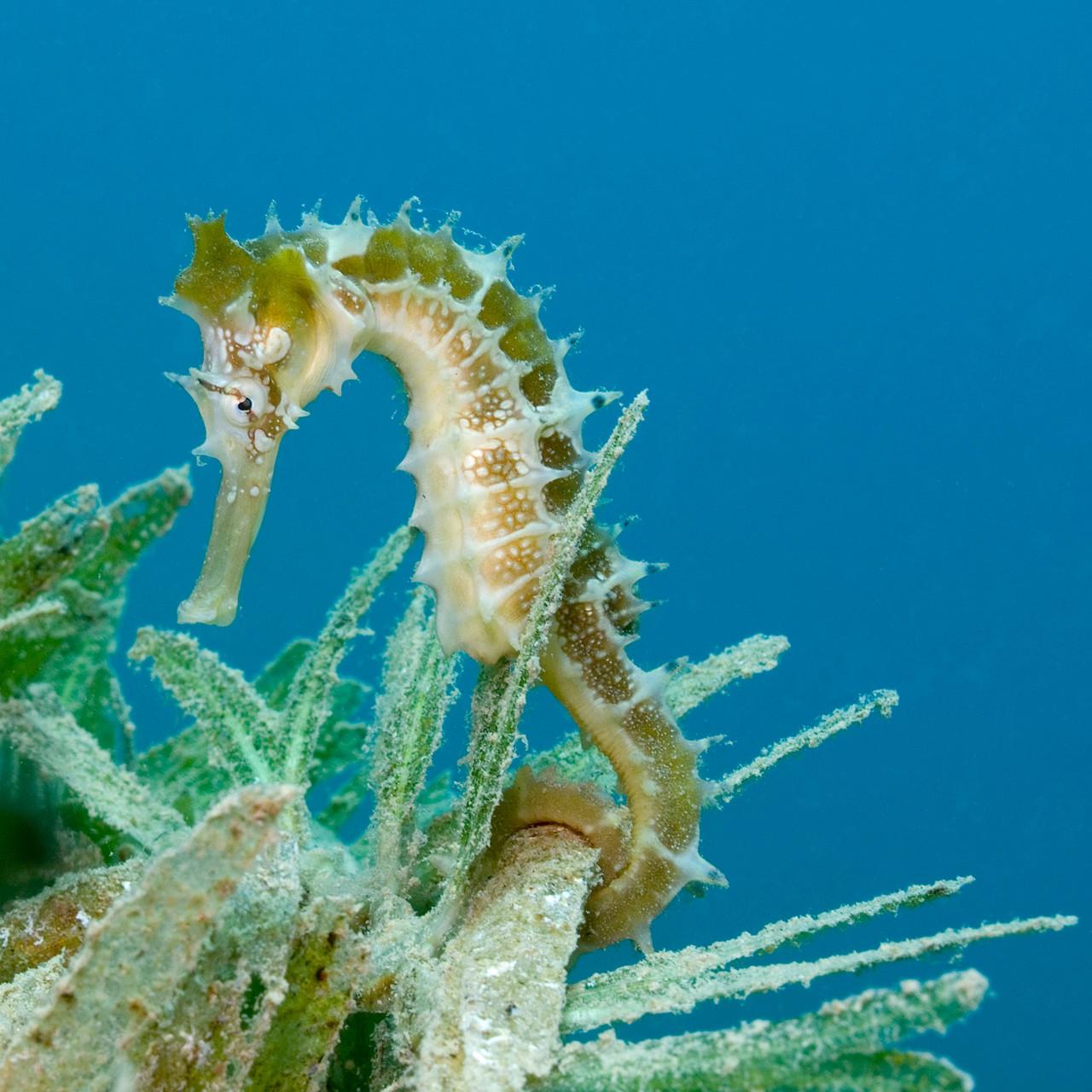 Thorny seahorse, Nuweiba [Egypt, 2010]
