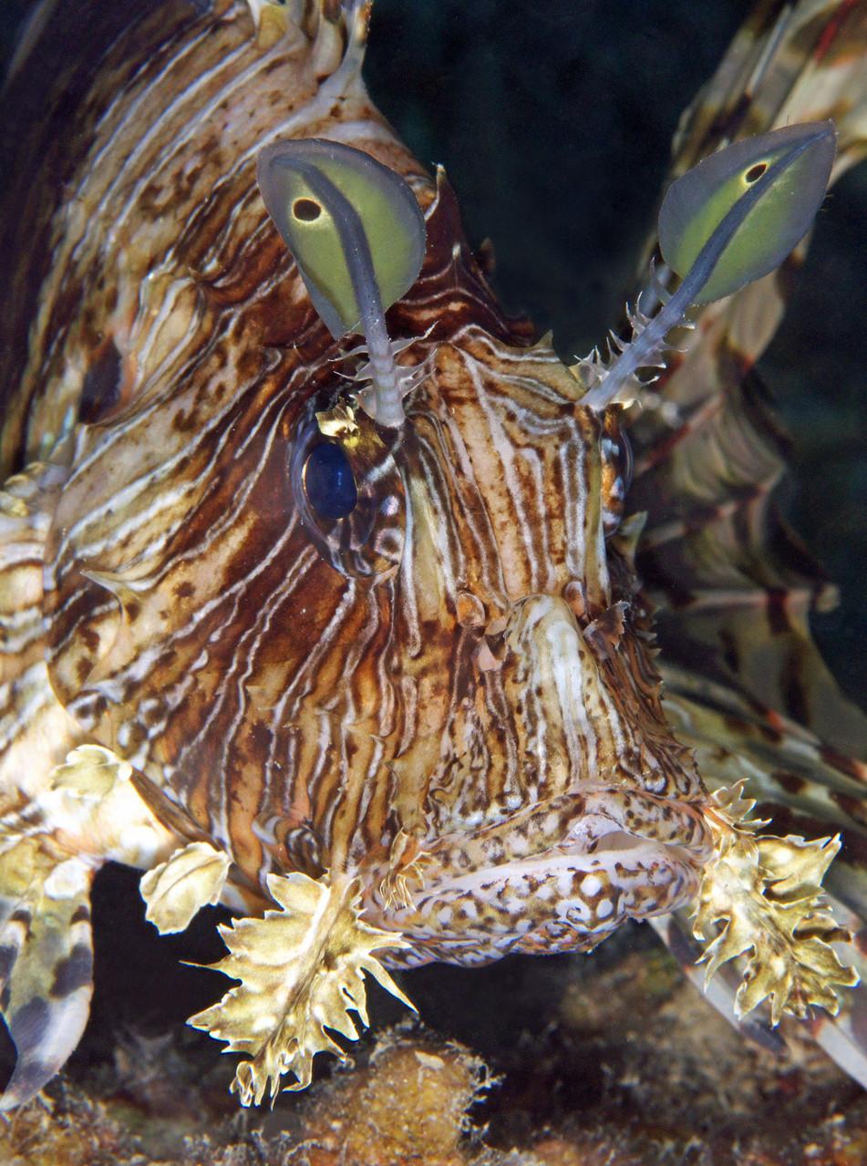 Scorpionfish, Nuweiba [Egypt, 2013]