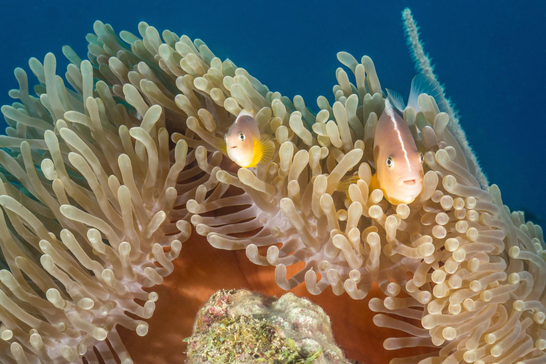 Anemone and nemos