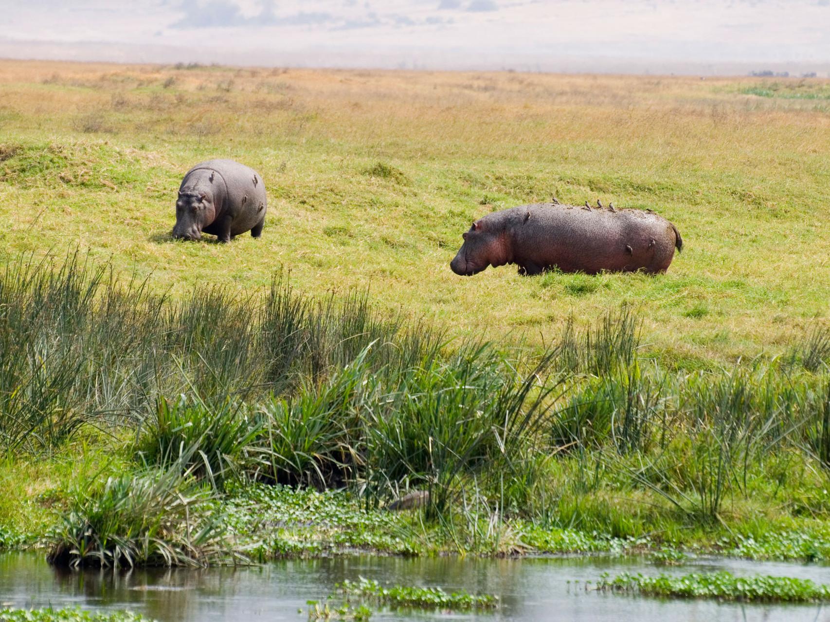 Hippos [Ngorongor, Tanzania, 2012]