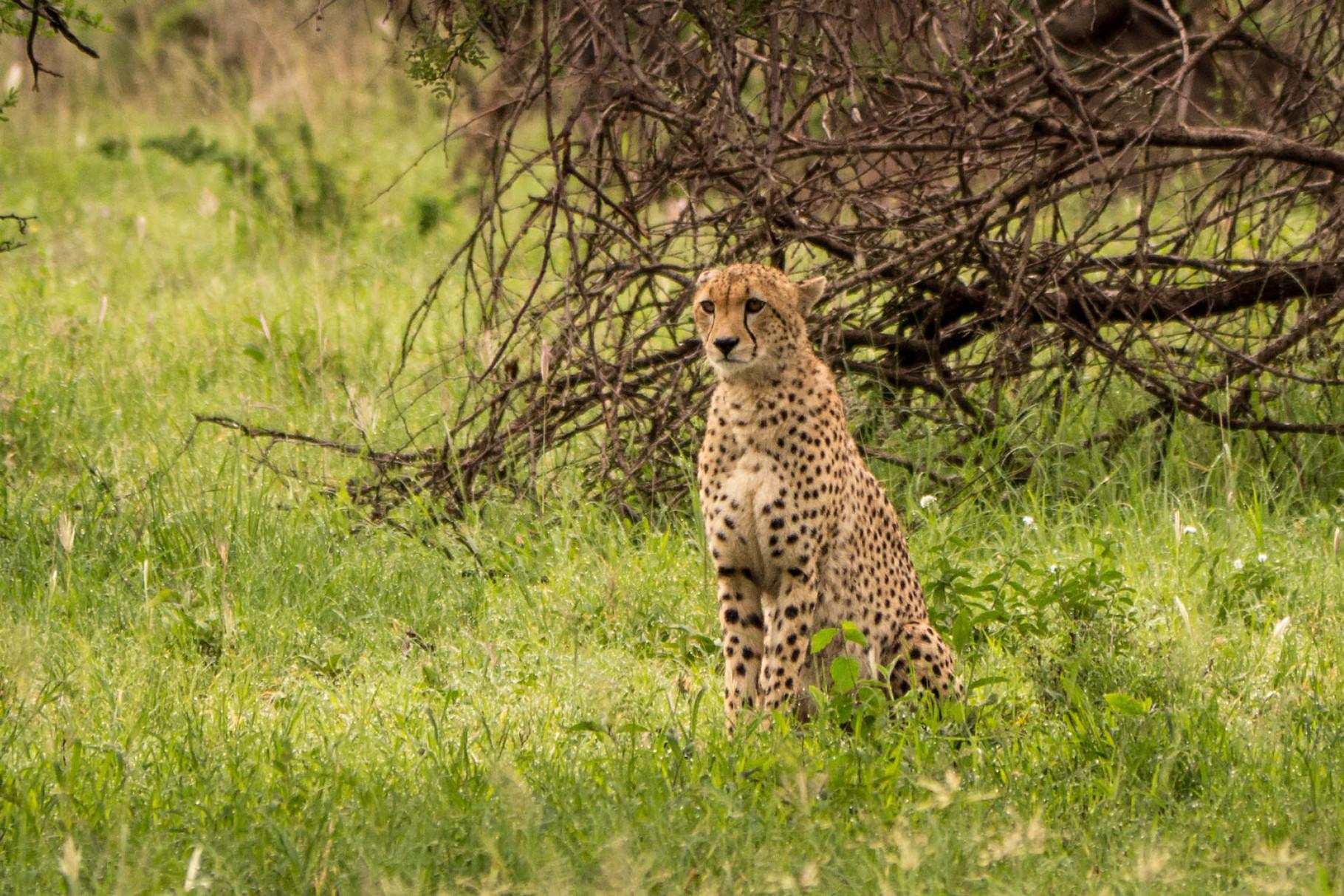 Cheetah [Serengeti, Tanzania, 2015]
