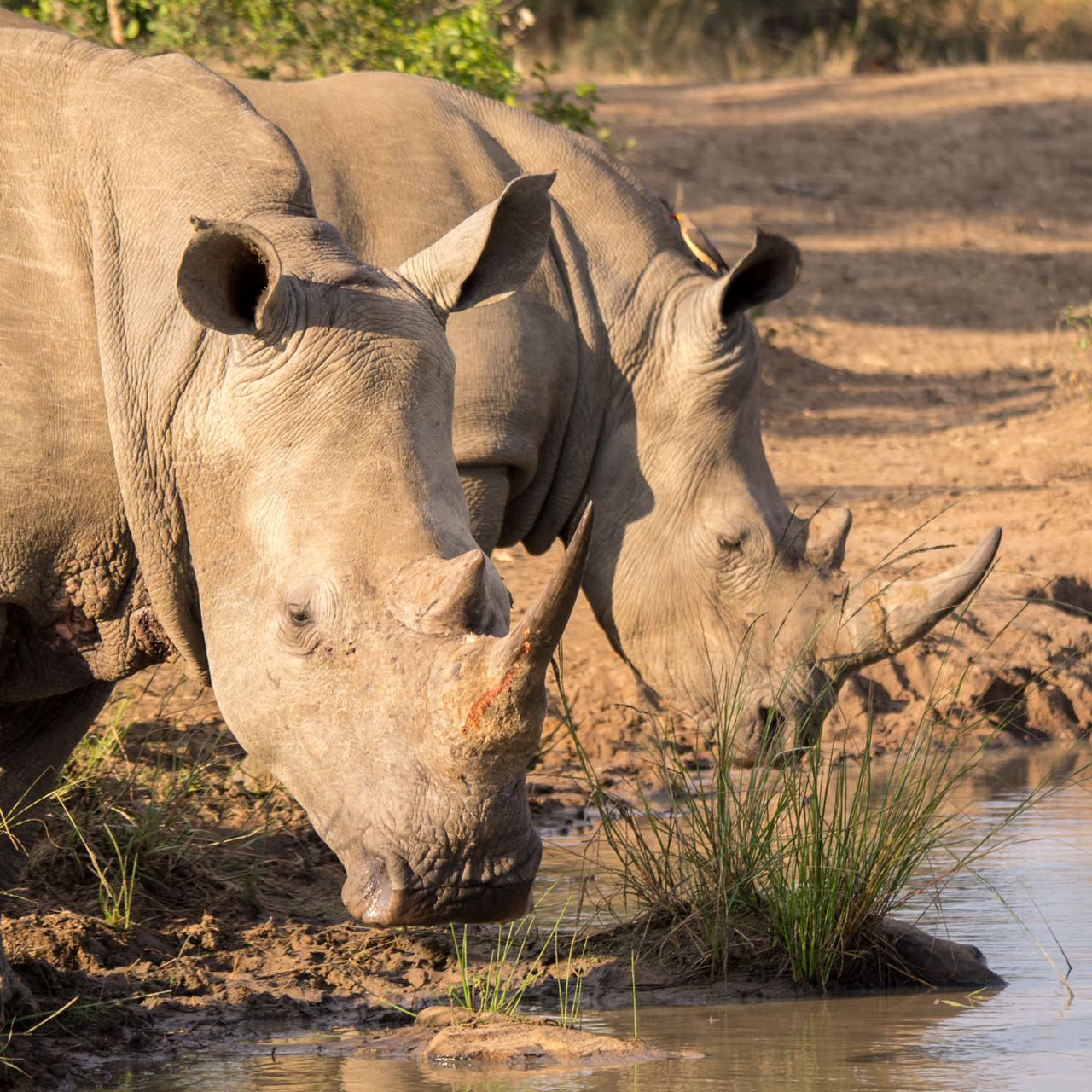 Rhinos [Hluhluwe-iMfolozi-Park, South Africa, 2015]