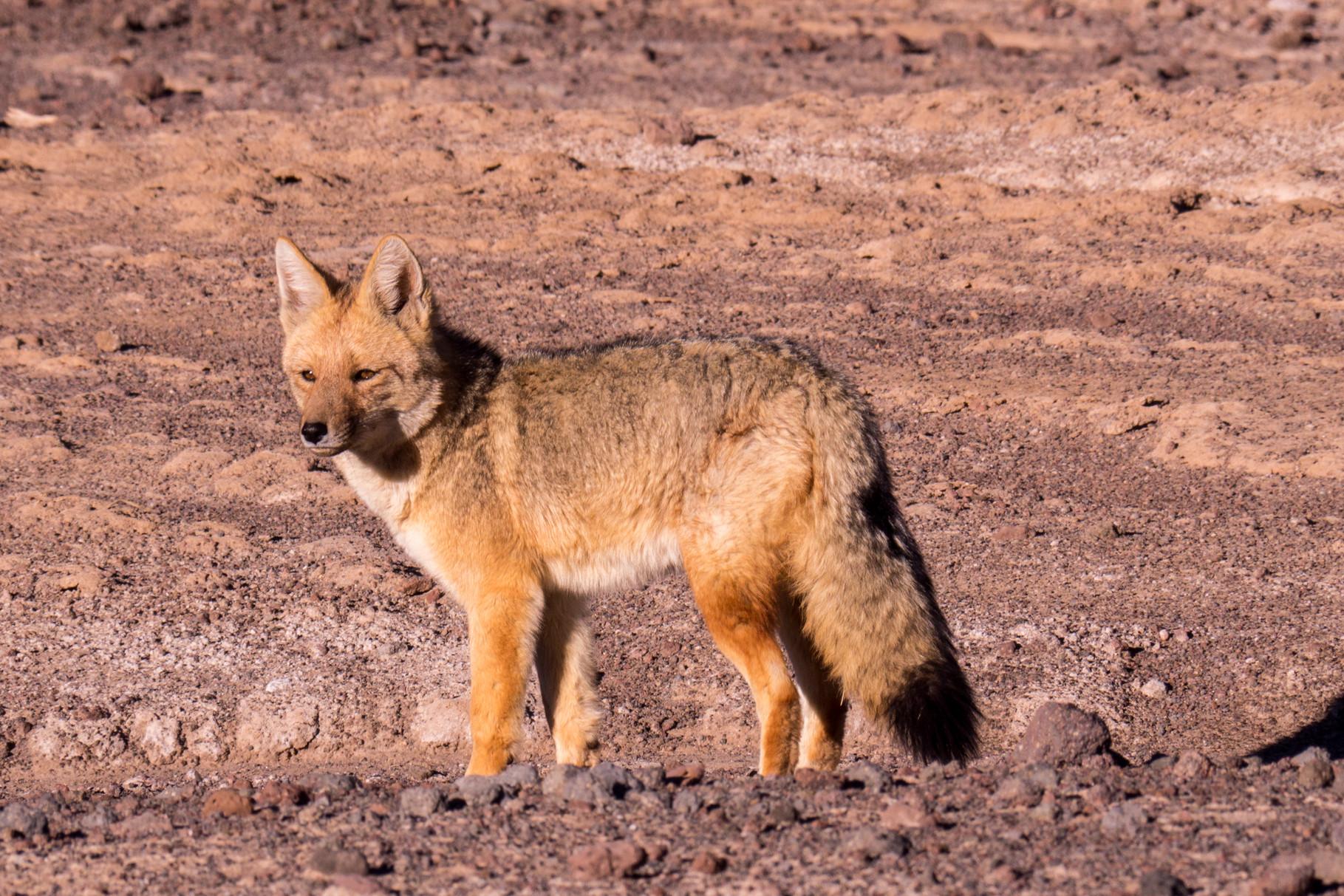 Dessert fox, Geyser del Tatio (4.320 masl), near San Pedro de Atacama, Chile