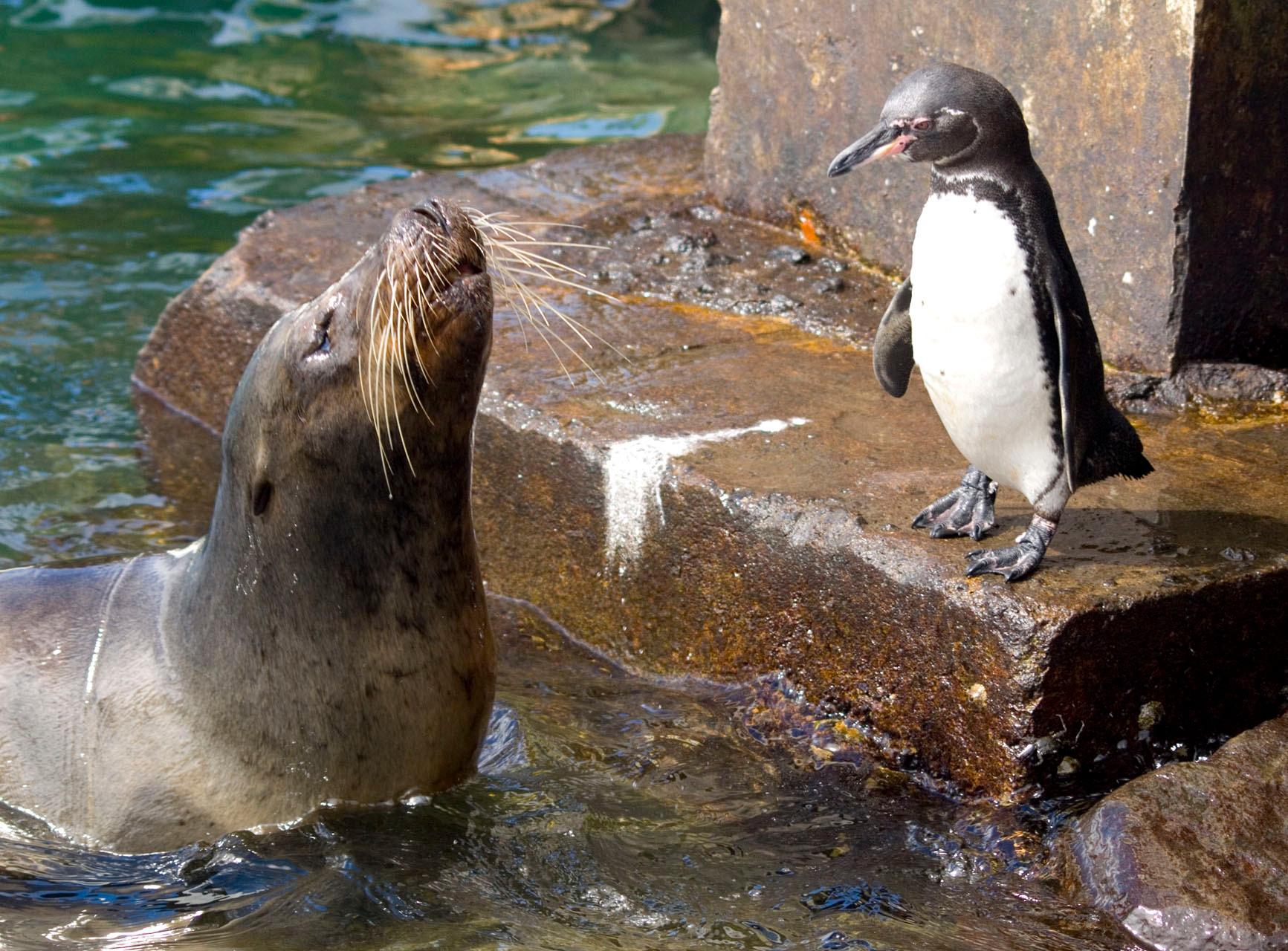 Galapagos penguin [Galapagos, Ecuador, 2009]