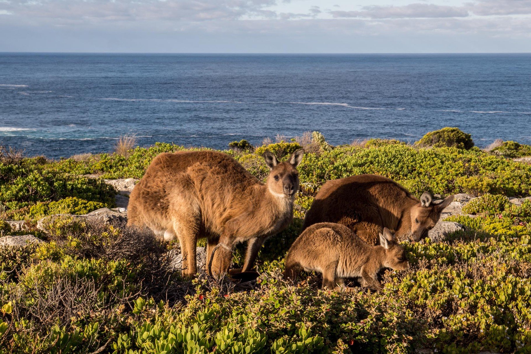 Kangaroos near Admiral Arch, Flinders Chase National Park, Kangaroo Island