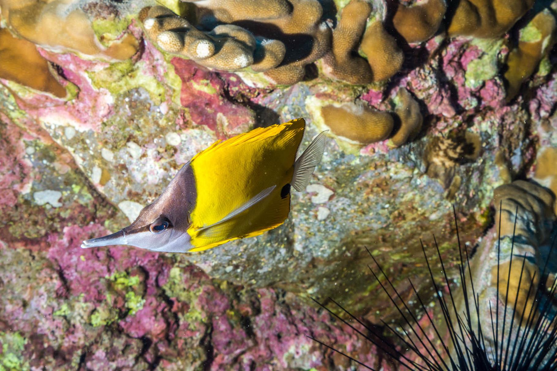 Yellow longnose butterflyfish (Forcipiger flavissimus)