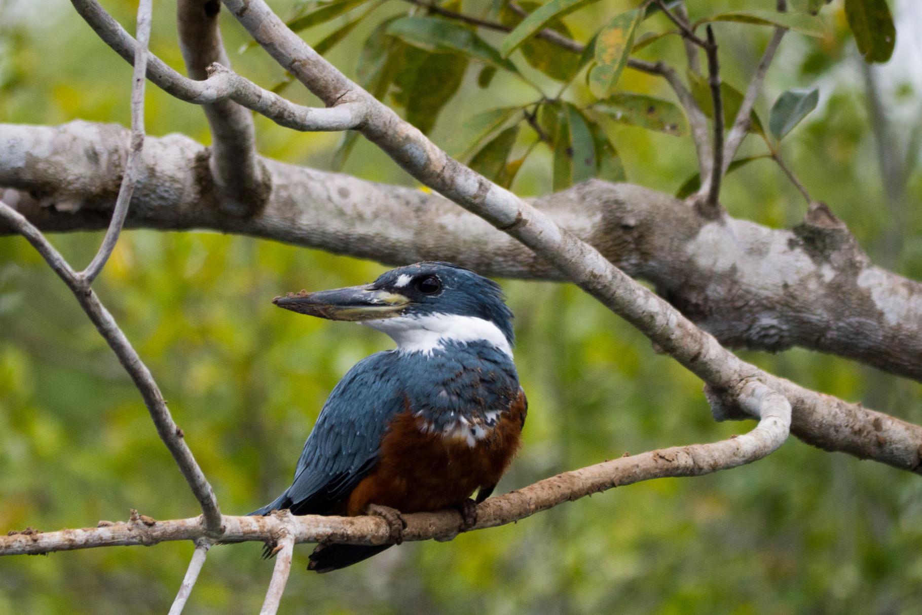 Ringed Kingfisher, Pantanal