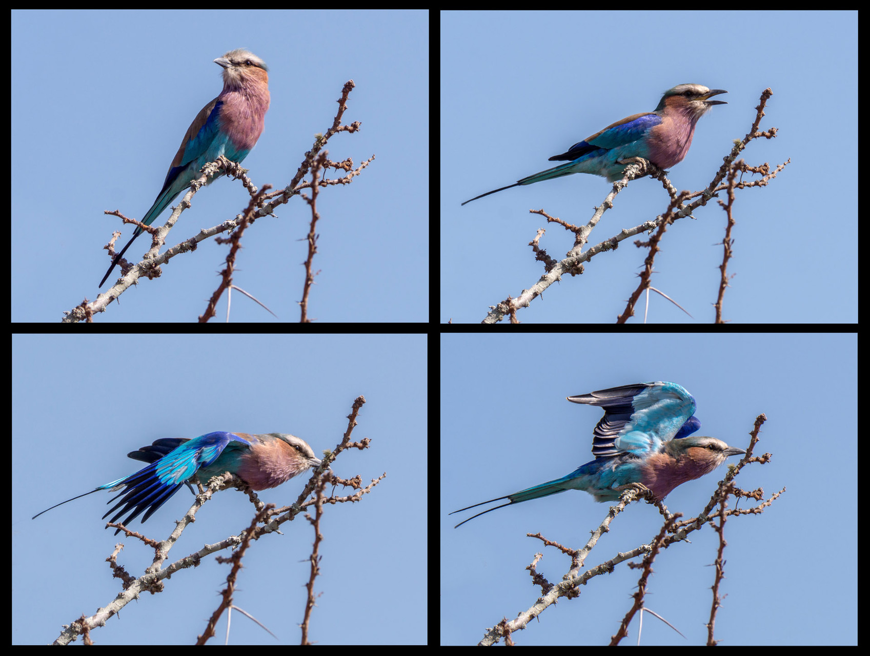 Lilac brested roller [Kruger NP, South Africa, 2015]